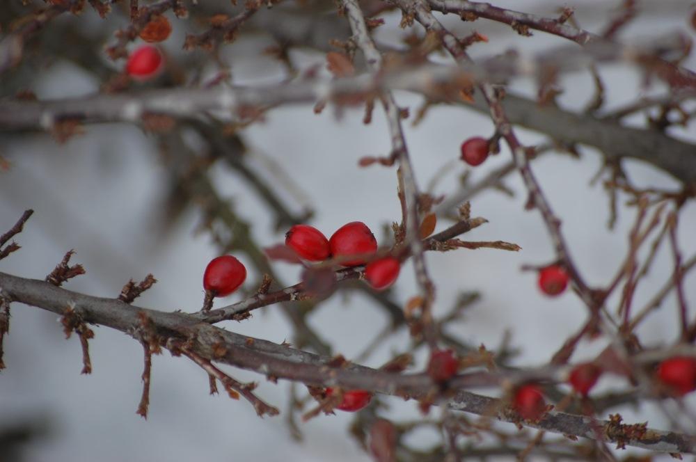 photoblog image Winter Berries